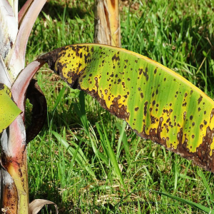 Banana Leaf Disease Detection using CNN